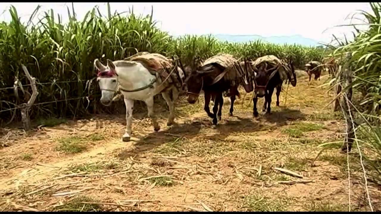 Como cultivar Caña de Azucar para Panela en Colombia Parte 1 - Tv agro By  Juan Gonzalo Angel - YouTube