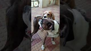 Grooming my Boxer   Funny Beagle and a Boxer dog
