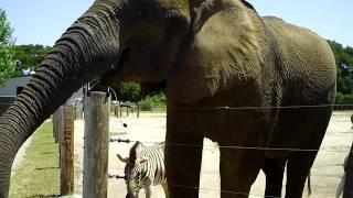 Elephants, Zebra, And Ostrich At Wild Things/Vision Quest Ranch In Salinas, California - May 6, 2012