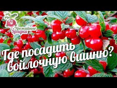 Где посадить войлочную вишню? #urozhainye_gryadki