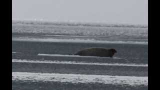 Unbelievable song of the bearded seal