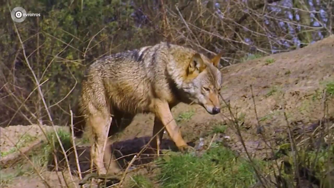 Deonwolf