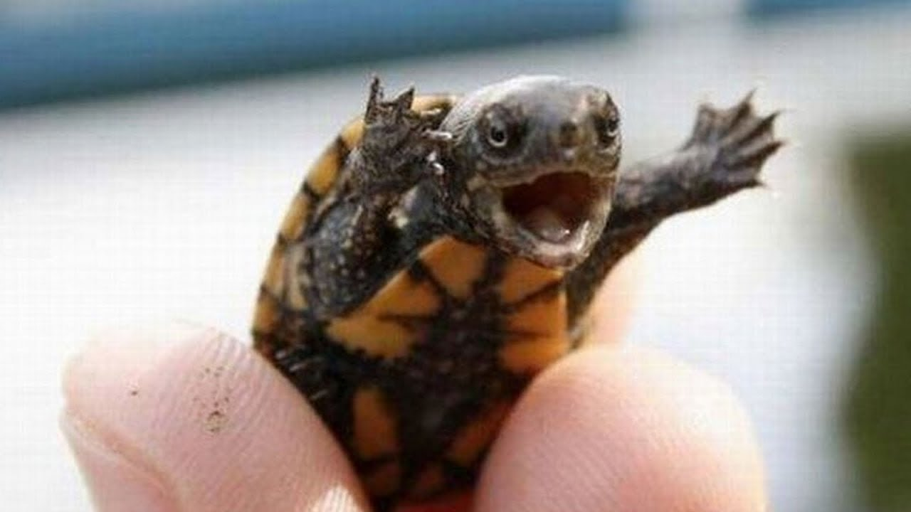 Lots of baby turtles youtube - Cute turtle pics ...