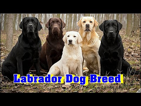 Labrador Dog or Labrador Retriever Dog Breed