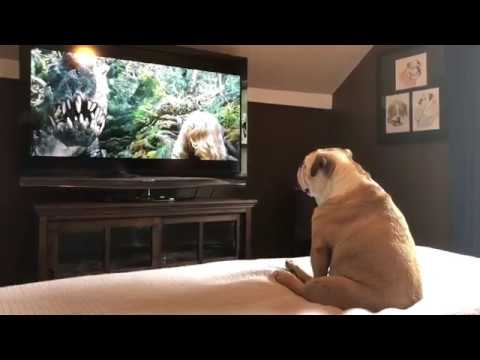 Pet Corner - Bulldog Reacts to Actress in Trouble