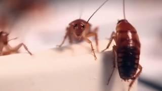 видео Форссайт – клеевая ловушка-домик от тараканов