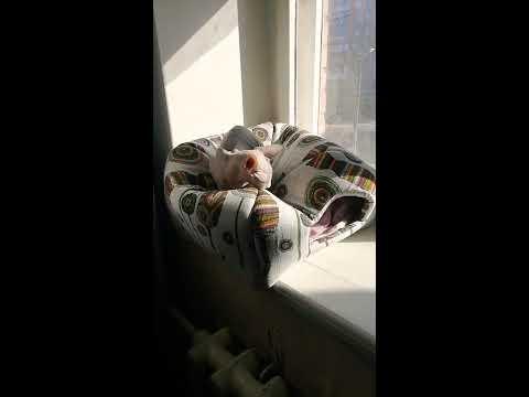 Донской сфинкс : Кот Рудольф принимает солнечные ванны на крыше своего домика
