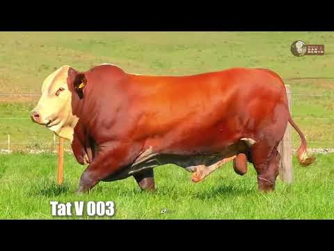 LOTE 16   TAT TEV003 BRAFORD SÃO BENTO 2 ANOS