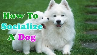 How To Socialize A Dog - Amazing Steps To Train Your Puppies
