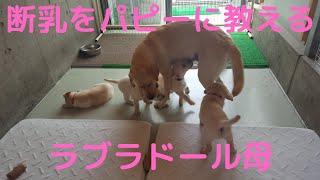 盲導犬繁殖犬わかばの育児中.