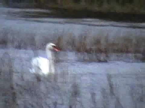 Swan Symbolism - Swans in Mytholgy and Legends