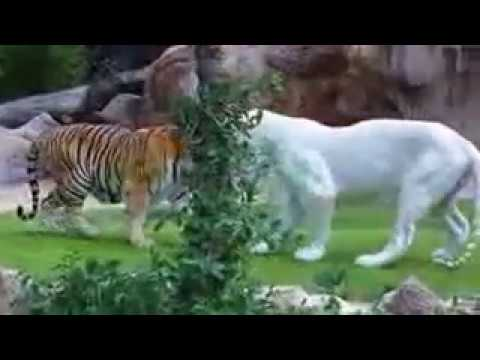 BENGAL TIGER VS WHITE TIGER FIGHT REAL