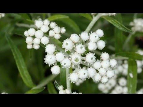 Анафалис (Anaphalis) - многолетнее травянистое растение семейства астровые (Asteraceae)