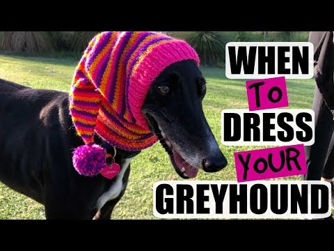 When to Dress Your Greyhound