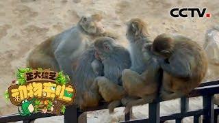 [正大综艺·动物来啦]视频中猕猴的行为是在干什么| CCTV