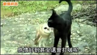 貓頭鷹喇舌黑貓 國際新聞 蘋果日報