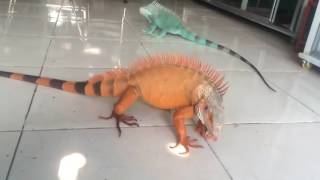Video Iguana red and blue download MP3, 3GP, MP4, WEBM, AVI, FLV Januari 2018