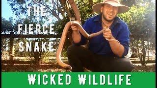 Deadliest Snake on Earth - The Inland Taipan
