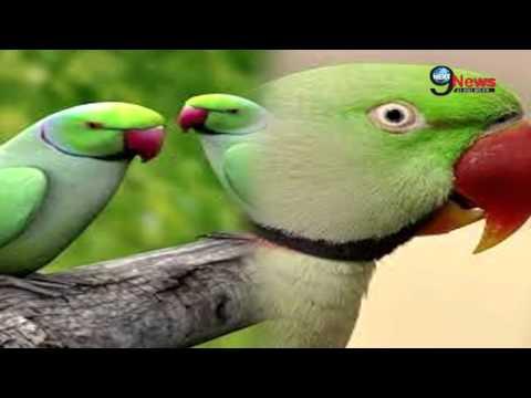 कभी देखा है इंसानी टॉयलेट इस्तेमाल करने वाला अजूबा तोता…?   Skylar Parrot: Trained to Go to Toilet
