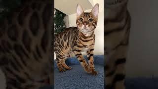 Свободен бенгальский кот AmatyCay Garry! Питомник в Новосибирске.