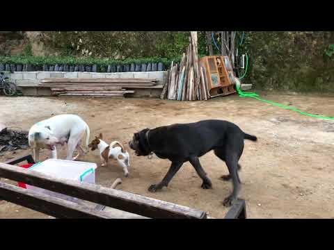 Dogo argentino gücünü bu videoda izleyin 50.Saniyeden sonra tasma kopuyor #dogoargentino #canecorso