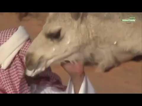 Польза верблюжьего молока и мочи