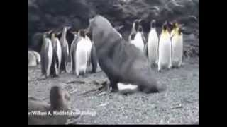 Seal sexually harassing a penguin