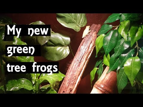 Download How To Setup A American Green Tree Frog Terrarium Mp3 3gp Mp4