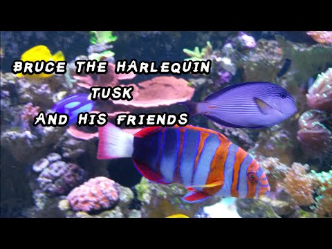 Bruce The Harlequin Tusk and His Friends