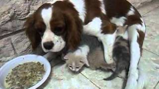 Cavalier King Charles Spaniel Adopts Cat Puppies.wmv