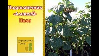 ВИДЕО - Гибрид Подсолнуха Алексей под Гранстар.(, 2016-09-26T06:55:12.000Z)