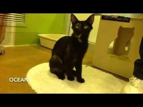 Ocean, Domestic Medium Hair Cat