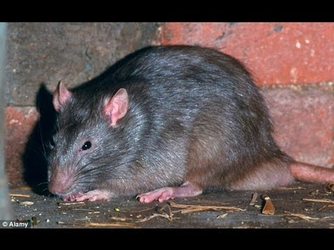 Rats Playing Fearlessly In Mumbai India Bombay Youtube