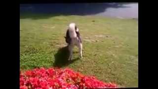 My Siberian Huskies Off Leash