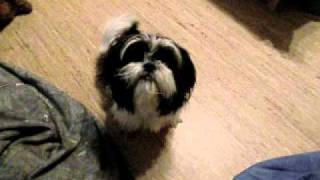 Shih Tzu In Heat
