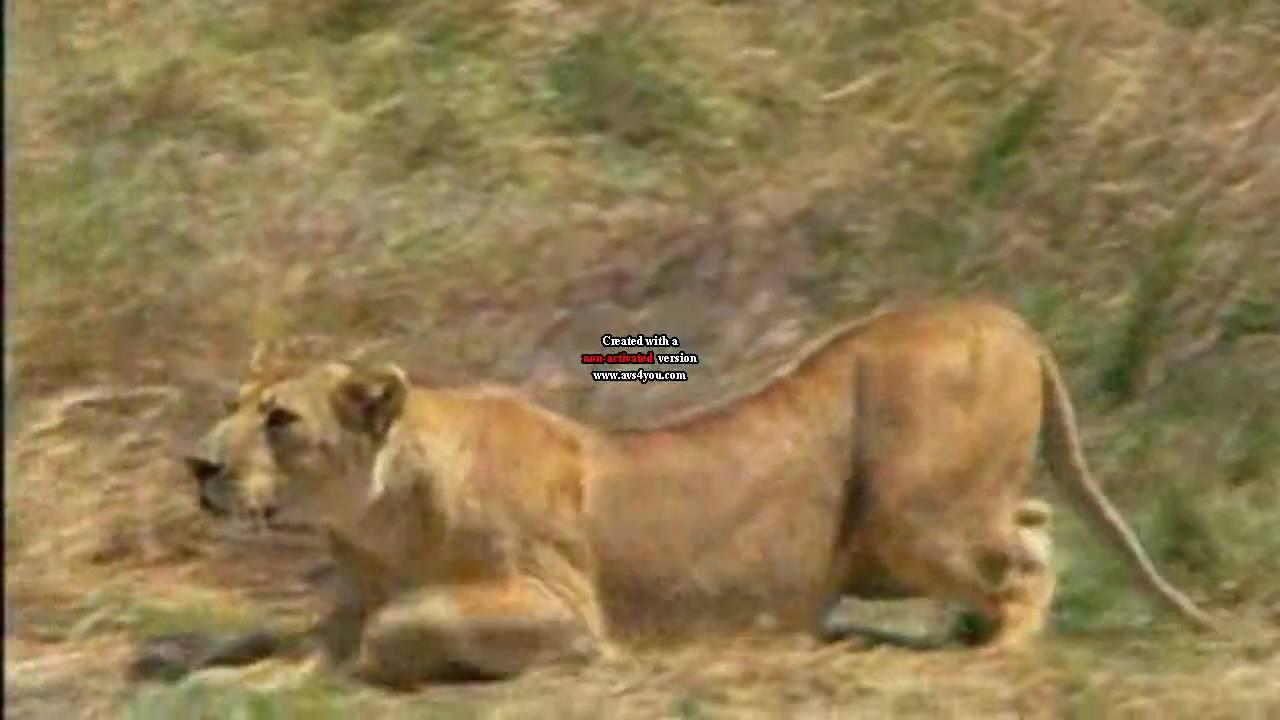 Lion  Wikipedia
