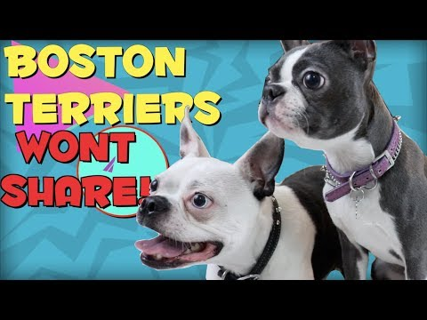 Boston Terrier dogs WONT SHARE!!   BarkBox October 2018