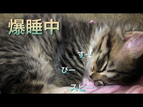 疲れて爆睡中の子猫の赤ちゃん