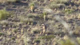 Team CFP- New Mexico Barbary Sheep Hunt