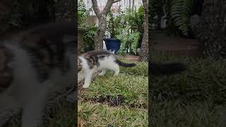 Maine coon cats, female black silver bicolor and her dad despacito
