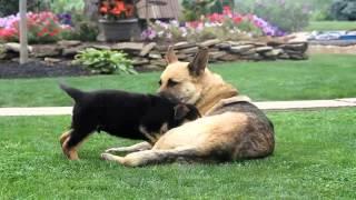 German Shepherd Puppies For Sale Elmer King