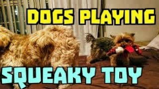 Lhasa Apso and Yorkshire Terrier Dogs Playing with Dog Toy