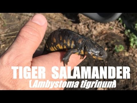Catching Tiger Salamanders in Our Backyard!  Cool Critters!