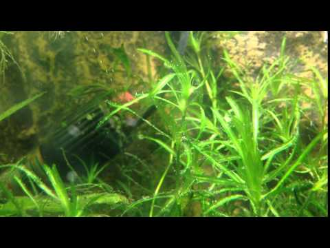 najas-guadalupensis-(guppy-grass)-pearling