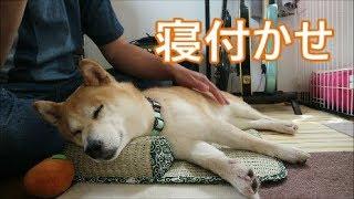 柴犬小春 マッサージメロメロ犬【MELTY DOG】massage thumbnail