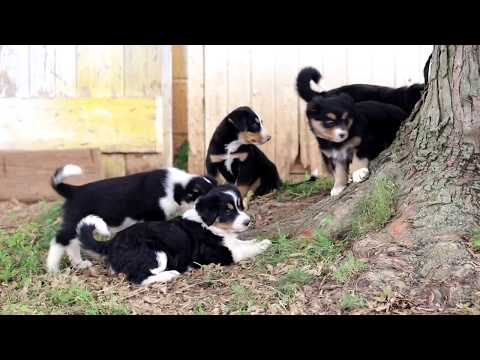 Bernese Mix Puppies for Sale