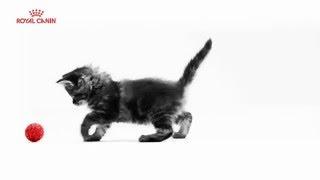 Правильное питание для здорового роста Вашего котёнка