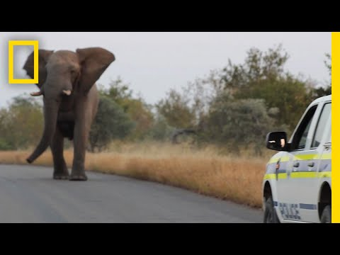 Watch: This Charging Elephant Is Probably Just Having Fun   National Geographic