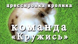 Дрессировка кролика- команда «Кружись». Итог и дополнительные советы. Training rabbit