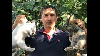 видео Кролики породы белый великан: основные преимущества
